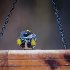 yellow-rumped warbler (jtr27) Tags: dscf6253xl jtr27 fuji xt20 nikon nikkor 300mm f45 edif ifed manualfocus yellowrumped warbler wildlife newhampshire nh songbird