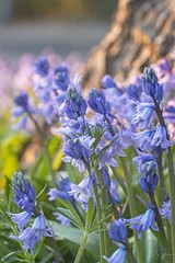 Bluebells (joyhhs) Tags: 2019 april bluebells macro canon on1 photography