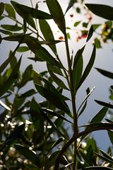Olive branch (.Stephen..Brennan.) Tags: da35macro foliage leaf pentax pentaxk3 trees perth westernaustralia australia