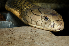 Beautiful but deadly - King Cobra /2/ (fenicephoto) Tags: giftschlange