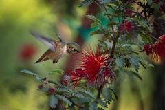 2019 Hummer # 13 (Tongho58) Tags: huntingtonbeach hummer hummingbirds