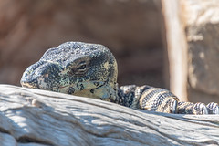 Lace Monitor (Merrillie) Tags: huntervalleyzoo nsw lacemonitor monitor australia reptile lizard animals fauna headshot newsouthwales zoo