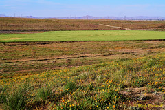D0PM-PAN00314 (Roy Prasad) Tags: leica 90mm apo summicron panasonic s1r poppy orange flower spring california prasad royprasad grass green landscape nature bloom