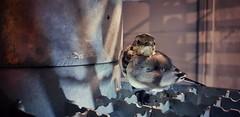 Do you Mind? (Mark.L.Sutherland) Tags: wagtail doyoumind bird closeup nature inexplore astoundingimage samsung smartphone marksutherland androidography cellphone phoneography cameraphone amaturephotographer galaxys9plus