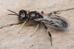 Crossocerus podagricus m - 25 IV 2019 (el.gritche) Tags: hymenoptera france 40 garden crabronidae crossocerus crossoceruspodagricus male