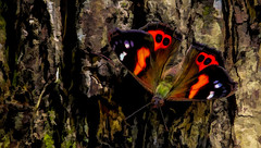 Wellington Flutterbye (New Zealand Red Admiral) (Bobinstow2010) Tags: insect butterfly wings colour botanicgarden wellington newzealand bark wood 2019 holiday flutterbye redadmiral