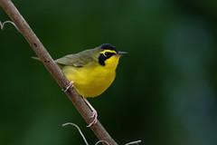 Kentucky Warbler (PeterBrannon) Tags: bird florida fortdesoto geothlypisformosa kentuckywarbler migration nature wildlife