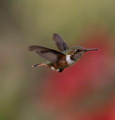 Scintillant Hummingbird (Jim Sparrell) Tags: birds hummingbirds endemics