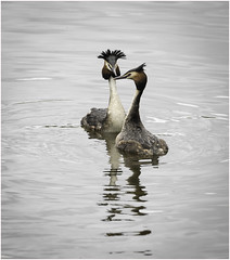 Admiring his Lady (Charles Connor) Tags: greatcrestedgrebes crestedgrebes grebes courtshipdisplay waterbirds divingbirds birdphotography birds nature naturephotography wildlifephotography wildlife canon7dmk11 canonef100400mmmk2lens