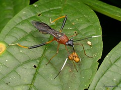 Broad-headed Bug, Alydidae mimicking an Ichneumon Wasp (Ecuador Megadiverso) Tags: andreaskay citynaturechallenge ecuador hemiptera heteroptera ichneumonwasp ichneumonidae mimicry pentatomomorpha tena truebug