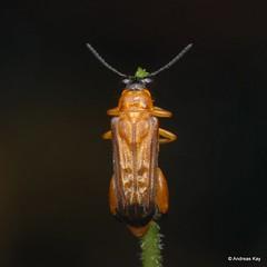Leaf Beetle, Megalopodidae (Ecuador Megadiverso) Tags: andreaskay beetle megalopodidae citynaturechallenge coleoptera ecuador leafbeetle tena
