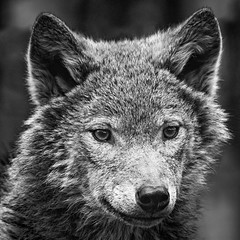 Wolf (amcgdesigns) Tags: andrewmcgavin animalsandbirds animal wolf europeangreywolf highlandwildlifepark kincraig eos7dmk2 canonef40056l blackandwhite monochrome silverefex scotland zoo eyes cute fluffy squarecrop