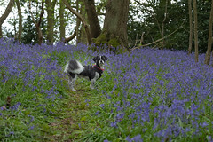 Himself (Sue_Hutton) Tags: april2019 burleighwoods loughborough spring ancientwoodland bluebells