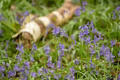 Bluebells and a Fallen Birch (Sue_Hutton) Tags: april2019 burleighwoods loughborough spring ancientwoodland bluebells