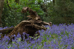 Twisted Stump (Sue_Hutton) Tags: april2019 burleighwoods loughborough spring ancientwoodland bluebells deadwood log