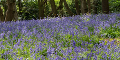 Ancient Woodland (8 of 35) (Sue_Hutton) Tags: april2019 burleighwoods loughborough spring ancientwoodland bluebells