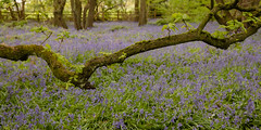 Swinging Bough (Sue_Hutton) Tags: april2019 burleighwoods loughborough spring ancientwoodland bluebells