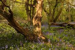 Harvested Trees (Sue_Hutton) Tags: april2019 burleighwoods loughborough spring ancientwoodland bluebells