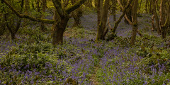 Bluebells fighting Brambles (Sue_Hutton) Tags: april2019 burleighwoods loughborough spring ancientwoodland bluebells