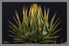 """Ugly & Dangerous (octbellini) Tags: """"macromondays"""" """"eyeofthebeholder"""" flowers danger ugly green plants macro spike nikon sigma"""