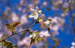 Cherry blossoms / Цветущая сакура (Vladimir Zhdanov) Tags: spring april russia moscow sakura cherry flower nature sky leaf