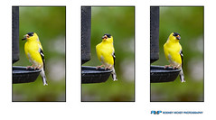 "American Goldfinch x3 (Rodney Hickey Photography) Tags: rodneyhickey rodneyhickeyphotography rodneyhickeyphotographyanddesign rhp halifax adobe adobecs adobecreativesuite lightroom nikon z6 z nikkor mirrorless ""nikon z6"" ""lower sackvillemiddle sackvillebedforddartmouthnova scotia sackville ns canada photoshop portraiture landscape wildlife wwwrodneyhickeyphotographyca httpwwwrodneyhickeyphotographyca american gold finch goldfinch bird avian feather yellow green nature outdoors beauty fly free feed backyard"
