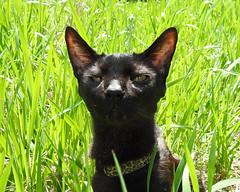 Snake Impression (annette.allor) Tags: black cat grass nature feline outdoors kakashi