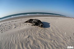 grey seal @ Helgoland 2019 (Jan Rillich) Tags: helgoland heligoland northern sea northernsea nordsee insel düne sandstein jan rillich janrillich picture photo photography foto fotografie eos digital wildlife animal nature beautiful beauty sunny sun fauna flora free animalphotography image 2019 eastern spring küste nordseeküste sand dune april 5dmarkiii canon kegelrobbe halichoerusgrypus robbe seerobbe halichoerus grypus greyseal grey seal grayseal hundsrobbe fisheye sigma15mm fun sigmafisheyedg15mmf28 sigma15mmf28 exdgdiagonalfisheye wideangle weitwinkel funny