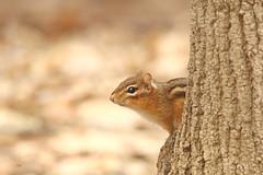 Tamia rayé / Eastern chipmunk (alainmaire71) Tags: mammal mammifère sciuridae sciuridés tamiasstriatus tamiarayé easternchipmunk bokeh nature quebec canada