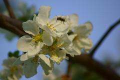 Пасхальное цветение / Easter blossom (Владимир-61) Tags: весна апрель природа цветы цветение spring april nature flower blossom sony ilca68 minolta75300 natureinfocusgroup
