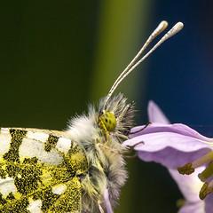 Anthocharis cardamines (Ouwesok) Tags: sonyslta77 sigma28105mmoshsm anthochariscardamines oranjetipje vlinder insect macro