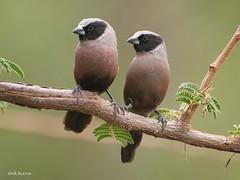 Black-faced Waxbill Estrilda erythronotos delamerei (nik.borrow) Tags: bird waxbill estrildid serengeti
