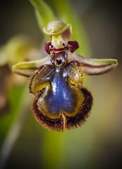 Ophrys speculum 1 (enekopy) Tags:
