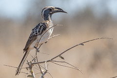 Toco Piquinegro (ik_kil) Tags: tocopiquinegro africangreyhornbill lophocerosnasutus kruger krugernationalpark southafrica
