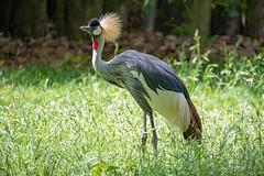 Grey Crowned Crane 1 (John Stankovich) Tags: grey crowned cranebird zoo