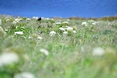 A view from a perch (gcquinn) Tags: 2019 flower geoff geoffrey quinn walk california usa redwinged blackbird birdpoint reyes peninsula