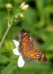 Vesta Crescent (peterkelly) Tags: digital canon 6d northamerica gadventures mayandiscovery chiapas palenque palenquenationalpark butterfly vestacrescent phyciodesgraphica orange green mexico