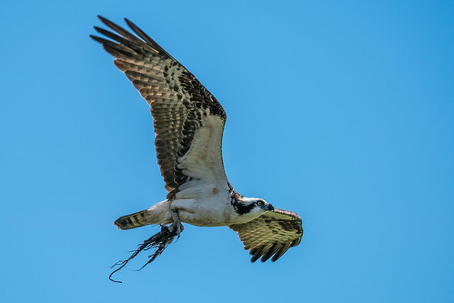 Osprey collecting nesting material