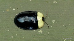 Tortoise Beetle, Imatidium thoracicum, Cassidinae (Ecuador Megadiverso) Tags: andreaskay beetle cassidinae chrysomelidae citynaturechallenge coleoptera ecuador imatidiumthoracicum leafbeetle tena tortoisebeetle