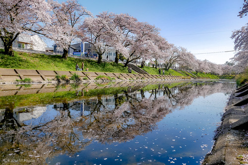 新境川堤の桜 (Shinsakaigawa River | Gifu, Japan)