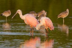 Like the first morning (ChicagoBob46) Tags: roseatespoonbill spoonbill bird jndingdarlingnwr florida sanibel sanibelisland nature wildlife coth5 ngc npc
