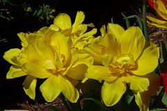 DSC04410 (gregnboutz) Tags: flower flowers bloomingflower bloomingflowers brightflowers colorfulflower colorfulflowers gardenflower gardenflowers macroflower macroflowers miissouriflowers missouriflower missouriflowers prettyflowers springflowers yellow yellowflower yellowflowers yellowtulips