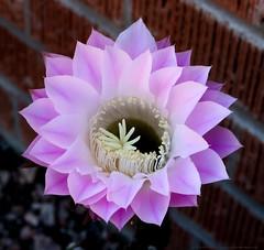 IMG_6059.CR2_EOS M5 32mm_26APR19_Cactus Flower_YD (gre99qd) Tags: canoneosm5 canoncameras eosm5 canon cactus cactusflower cactusflowers eastercactus
