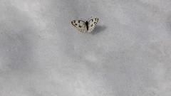 Spring is coming (ctheisinger) Tags: lasvegasnevada mountcharleston nv usa butterfly snow white lasvegas nevada unitedstatesofamerica
