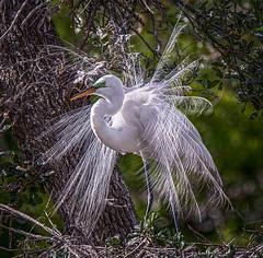 Look At Me (Wes Iversen) Tags: ardeaalba florida greategrets staugustine tamron150600mm aigrettes birds bokeh breedingplumage leaves trees wildlife