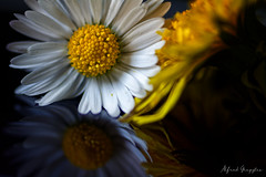 Mixed Company In The Eye Of The Beholder (Alfred Grupstra) Tags: daisy nature flower petal plant closeup yellow summer macro singleflower freshness flowerhead beautyinnature gerberadaisy springtime backgrounds white blossom nopeople greencolor dandalion macromondays eyeofthebeholder