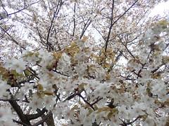 P4070012 (Stéphane D) Tags: kyoto japon japan avril 2019 april2019 cerisier parc