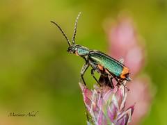 (marianoabad1) Tags: mzuiko60mmf28macro mzuiko omdem1markii olympus macro insects insectos fotografíadenaturaleza fotografíamacro naturaleza nature naturephotography