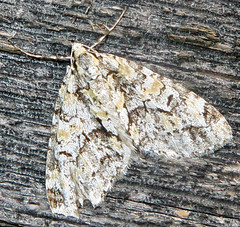 The Scribbler, Cladara atroliturata, Nummy Lake, Belleplain State Forest, NJ (Seth Ausubel) Tags: geometridae moth larentiinae
