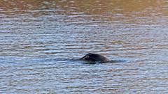 Halichoerus grypus - a Grey seal in Stockholm, diving (Franz Airiman) Tags: halichoerusgrypus säl seal sälis sälx grayseal greyseal animal djur stockholm sweden scandinavia wild vild vattendjur mammal watermammal däggdjur vattendäggdjur gråsäl saltsjön